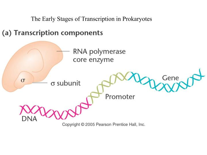 The Early Stages of Transcription in Prokaryotes