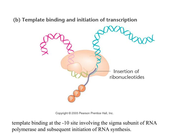 template binding at the -10 site involving the sigma subunit of RNA polymerase and subsequent initiation of RNA synthesis.