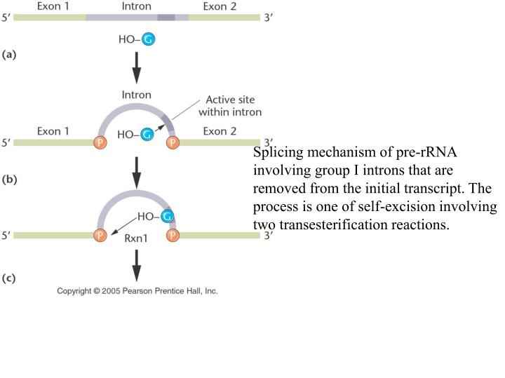 Splicing mechanism of pre-rRNA involving group I introns that are removed from the initial transcript. The process is one of self-excision involving two transesterification reactions.