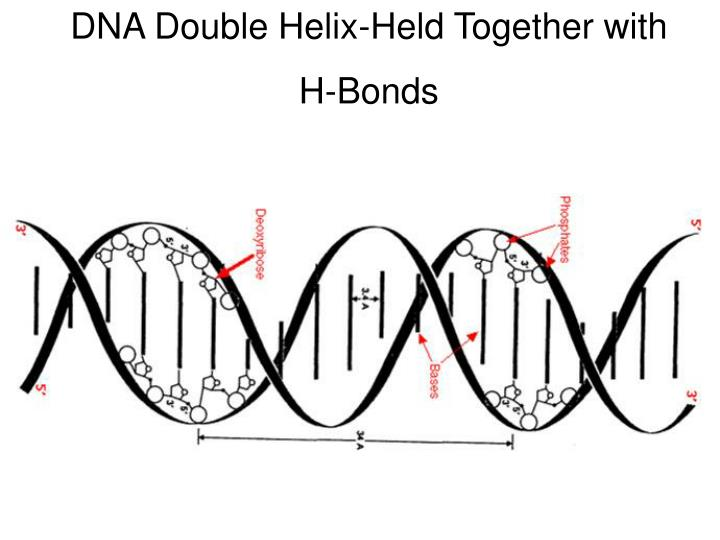 DNA Double Helix-Held Together with