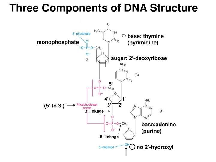 Three Components of DNA Structure