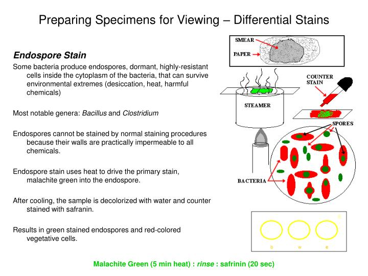 Preparing Specimens for Viewing – Differential Stains
