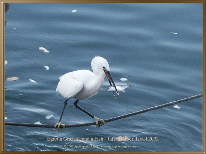 Egretta Grazetta and a Fish - Jaffa Harbor, Israel 2002