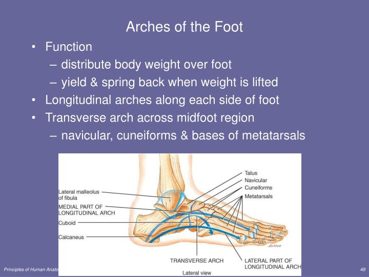 Arches of the Foot