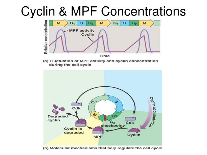 Cyclin & MPF Concentrations