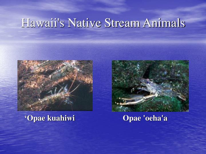 'Opae kuahiwi