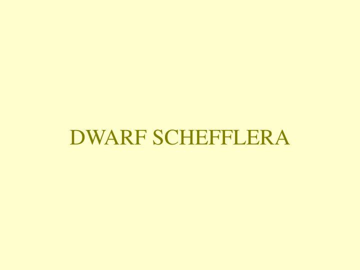 DWARF SCHEFFLERA