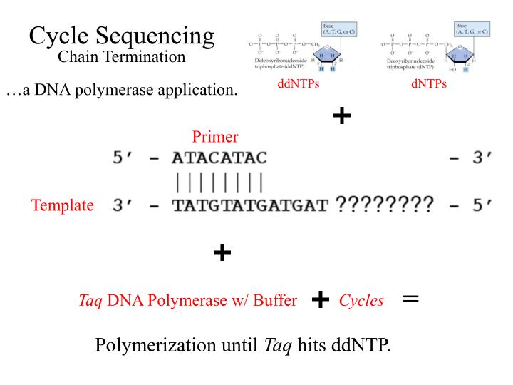 Cycle sequencing chain termination a dna polymerase application