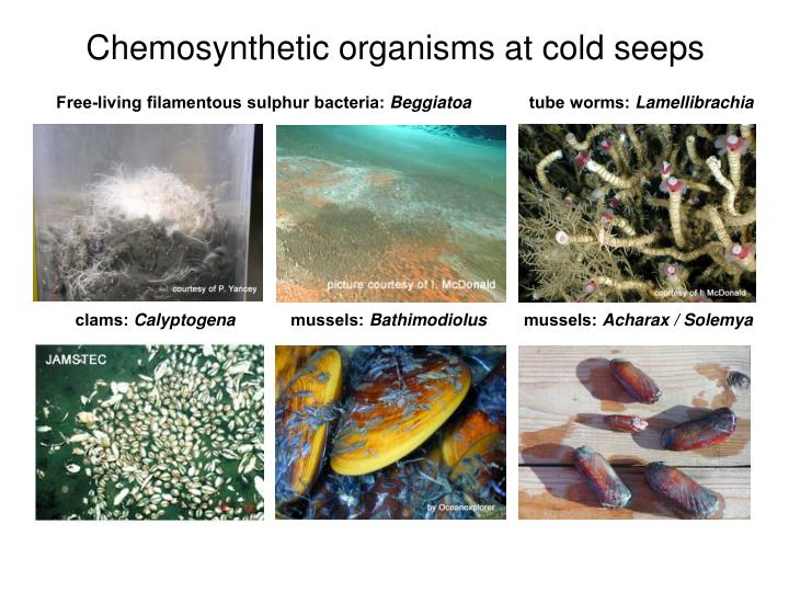 Chemosynthetic organisms at cold seeps
