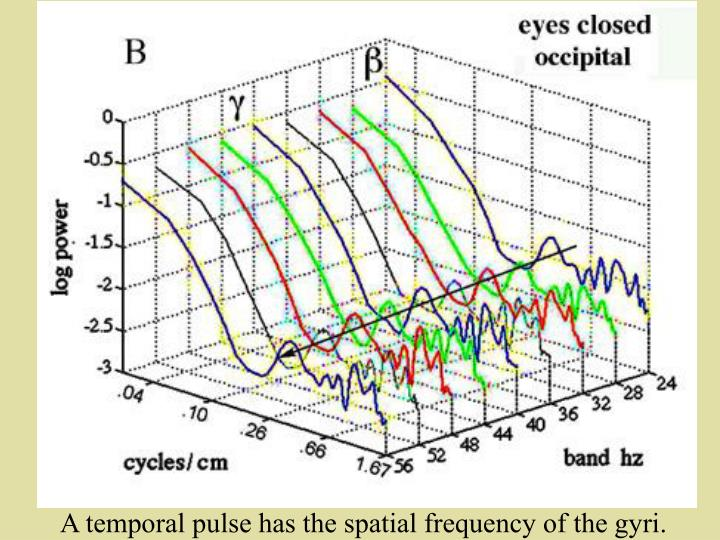 A temporal pulse has the spatial frequency of the gyri.