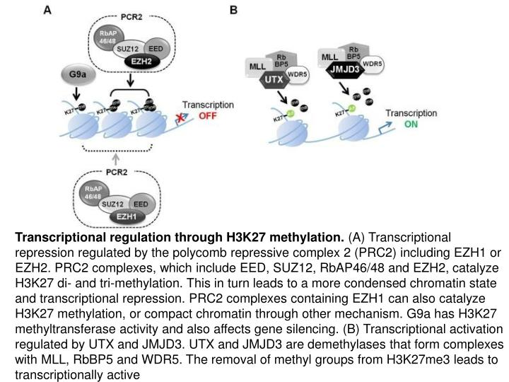 Transcriptional regulation through H3K27 methylation.