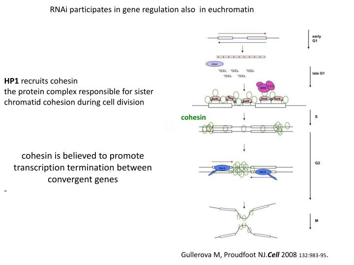 RNAi participates in gene regulation also  in euchromatin