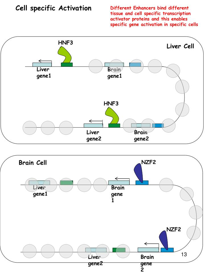 Different Enhancers bind different tissue and cell specific transcription activator proteins and this enables specific gene activation in specific cells