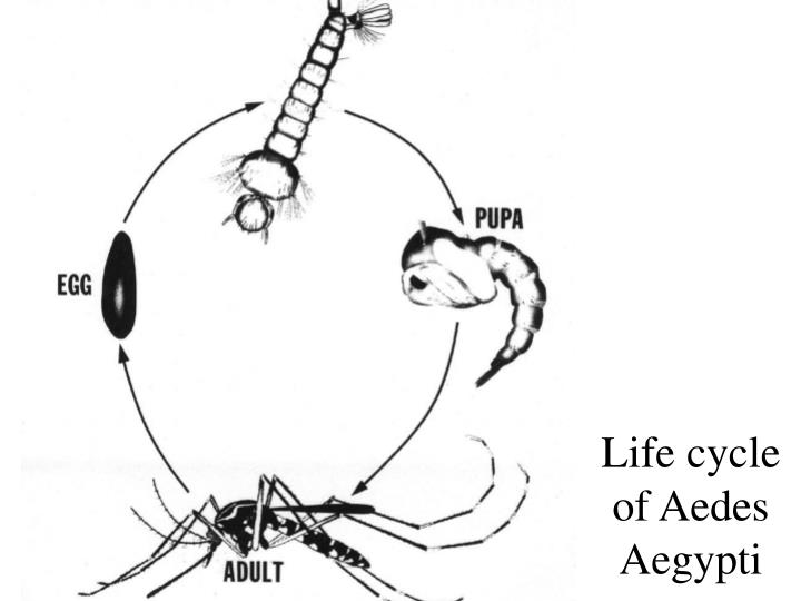 Life cycle of Aedes Aegypti