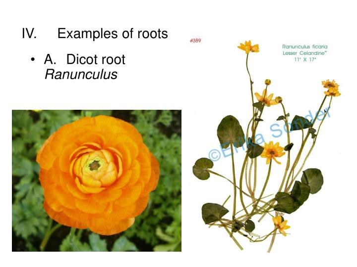 IV.	Examples of roots