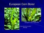 european corn borer4