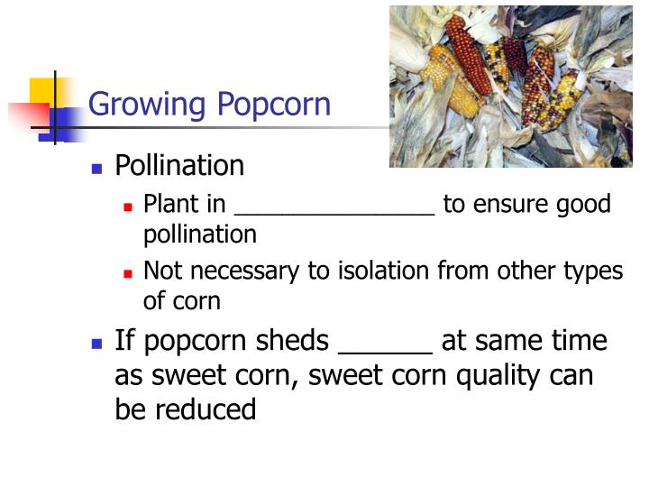 Growing Popcorn