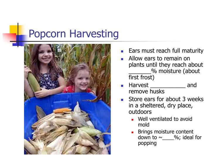 Popcorn Harvesting