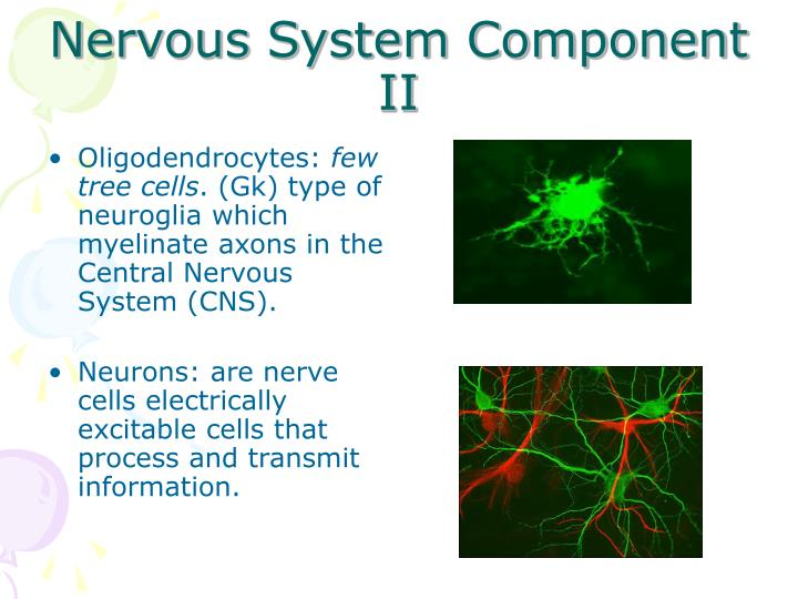 Nervous System Component II