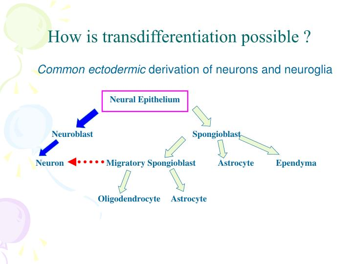 How is transdifferentiation possible ?