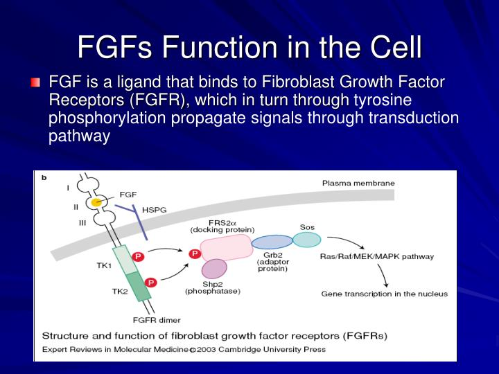 FGFs Function in the Cell