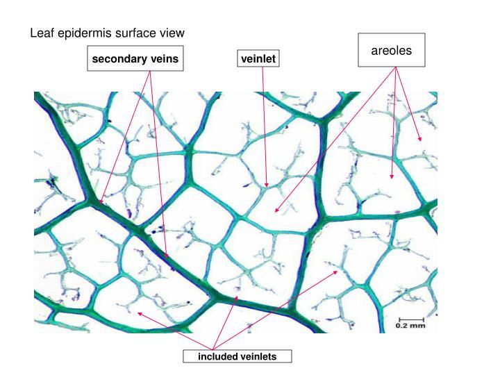 Leaf epidermis surface view