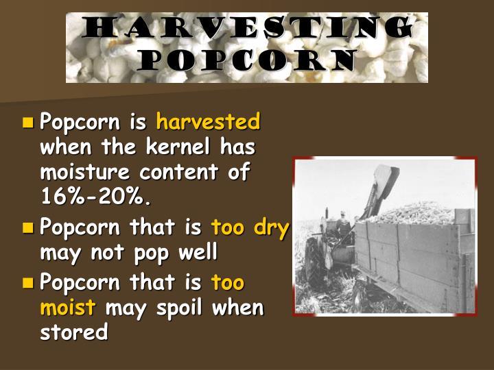 Harvesting Popcorn
