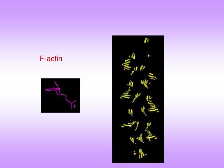 F-actin