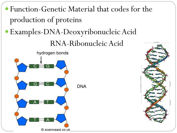 Function-Genetic Material that codes for the production of proteins