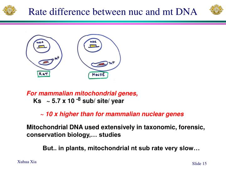 Rate difference between nuc and mt DNA