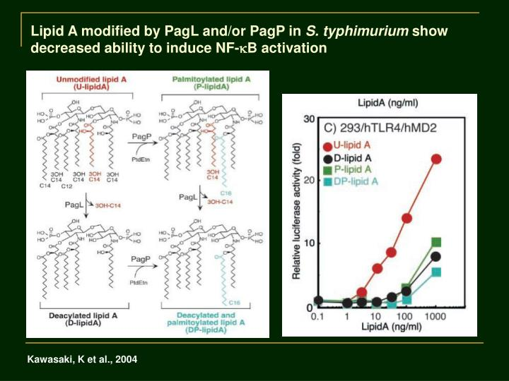 Lipid A modified by PagL and/or PagP in