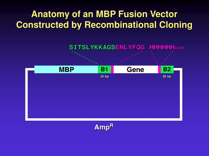 Anatomy of an MBP Fusion Vector