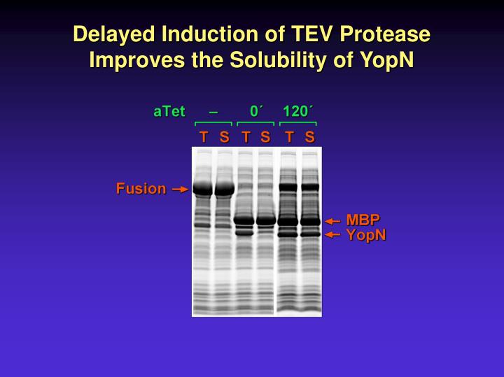 Delayed Induction of TEV Protease