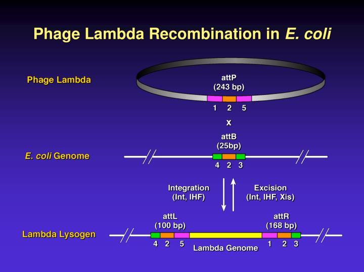 Phage Lambda Recombination in