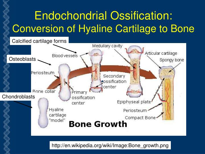 Endochondrial Ossification: