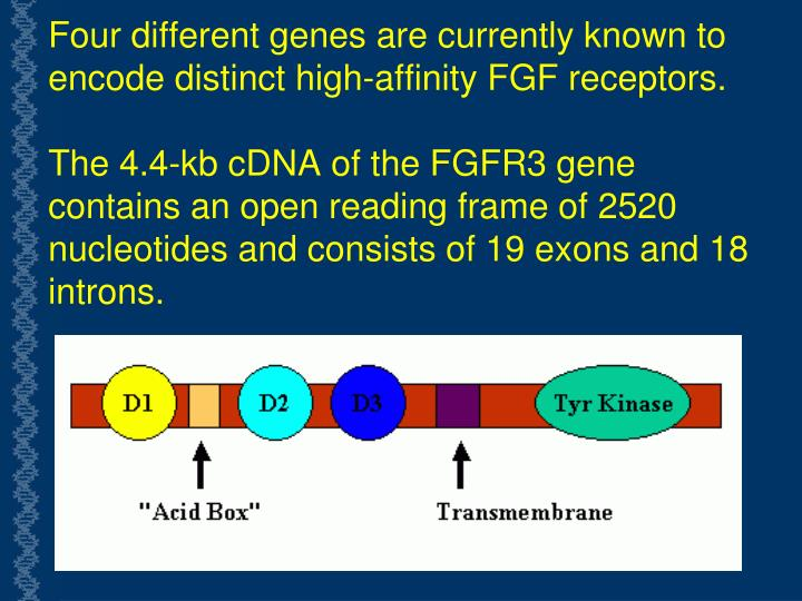 Four different genes are currently known to encode distinct high-affinity FGF receptors.
