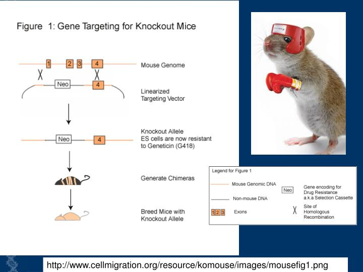 http://www.cellmigration.org/resource/komouse/images/mousefig1.png