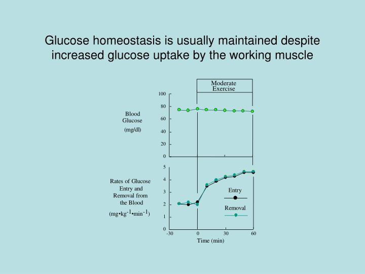 Glucose homeostasis is usually maintained despite increased glucose uptake by the working muscle