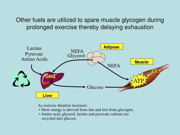 Other fuels are utilized to spare muscle glycogen during prolonged exercise thereby delaying exhaustion