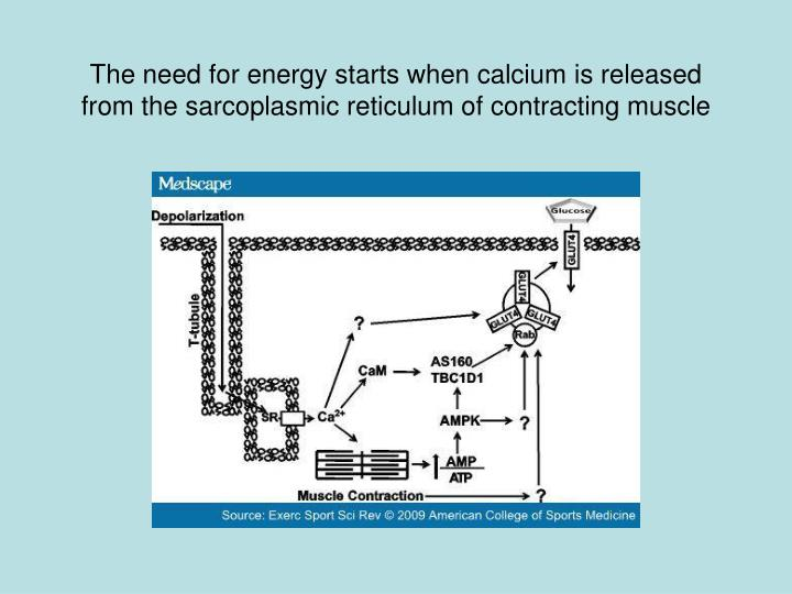 The need for energy starts when calcium is released from the sarcoplasmic reticulum of contracting muscle