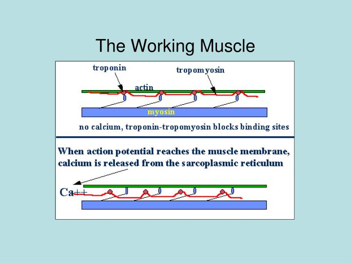 The Working Muscle