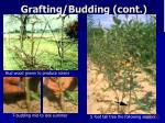 grafting budding cont