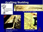 grafting budding