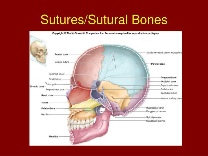 Sutures/Sutural Bones