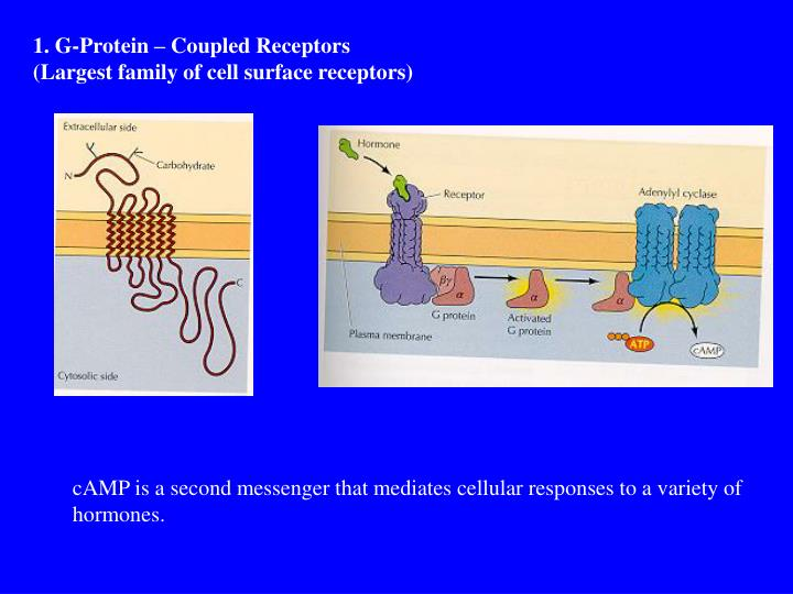 1. G-Protein – Coupled Receptors
