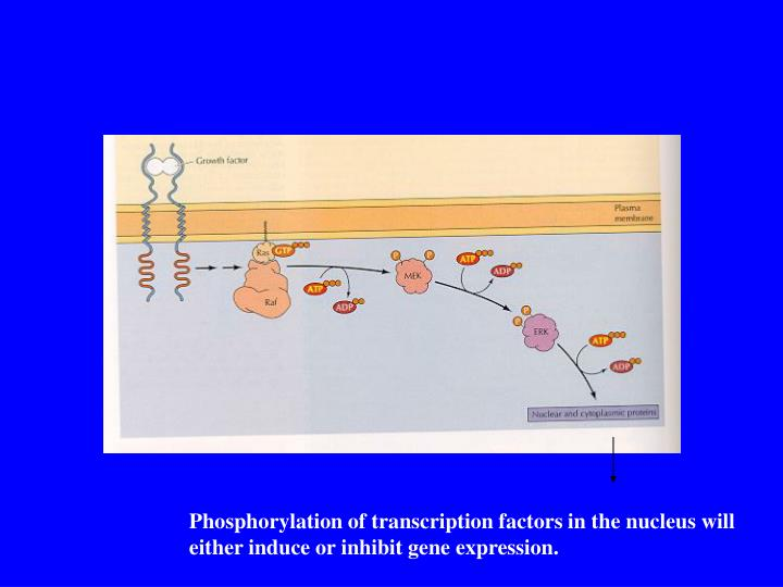 Phosphorylation of transcription factors in the nucleus will