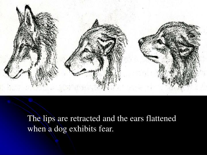 The lips are retracted and the ears flattened when a dog exhibits fear.