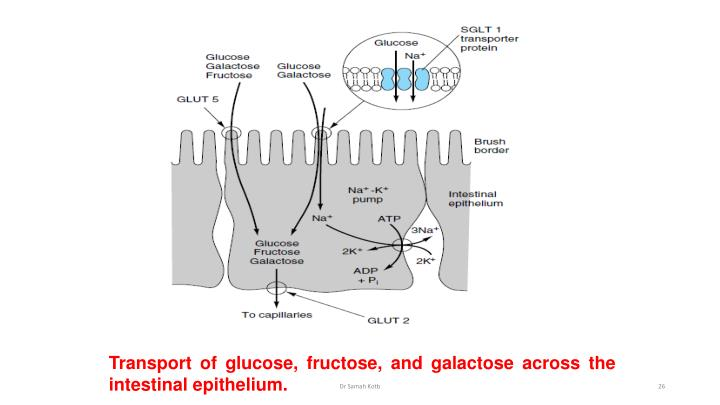 Transport of glucose, fructose, and