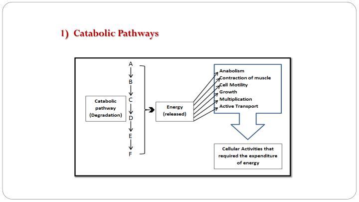 1)  Catabolic Pathways