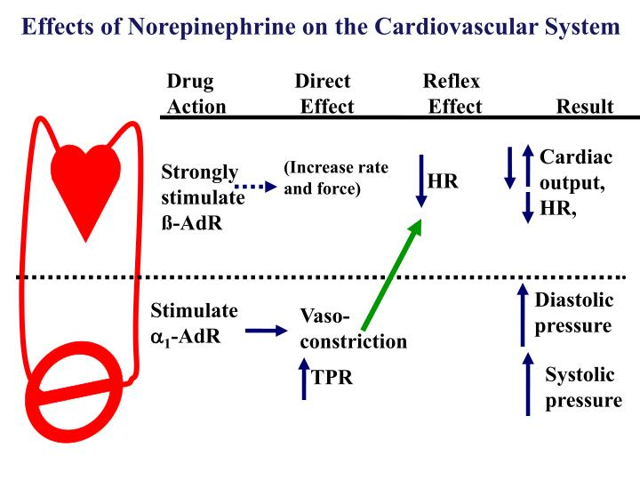 Effects of Norepinephrine on the Cardiovascular System
